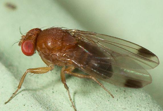 drosophila-suzuki